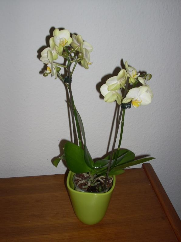 Orchidee von Rosy