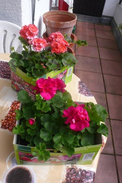 Geranien warten auf wärmeres Wetter zum Einpflanzen