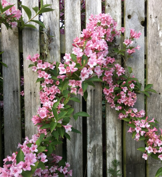 flowers on fence