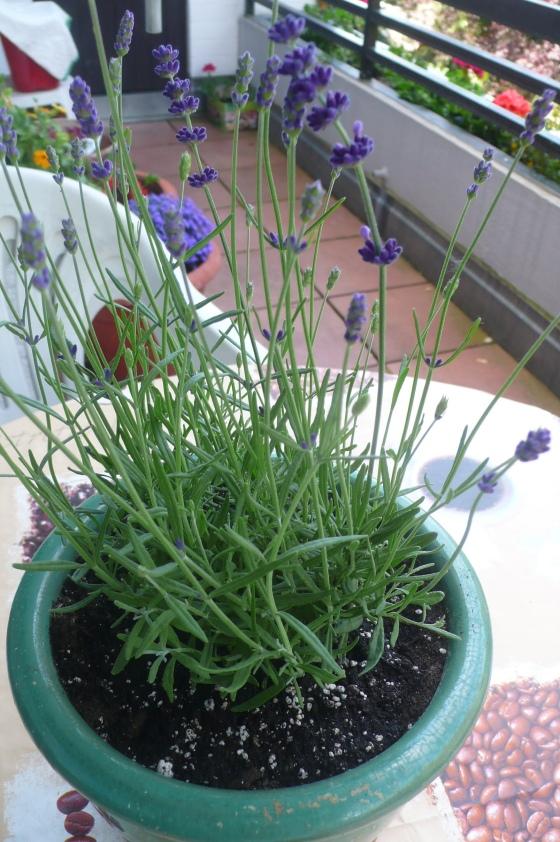 Topf mit Lavendel