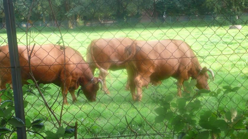 Kühe mit Hörnern