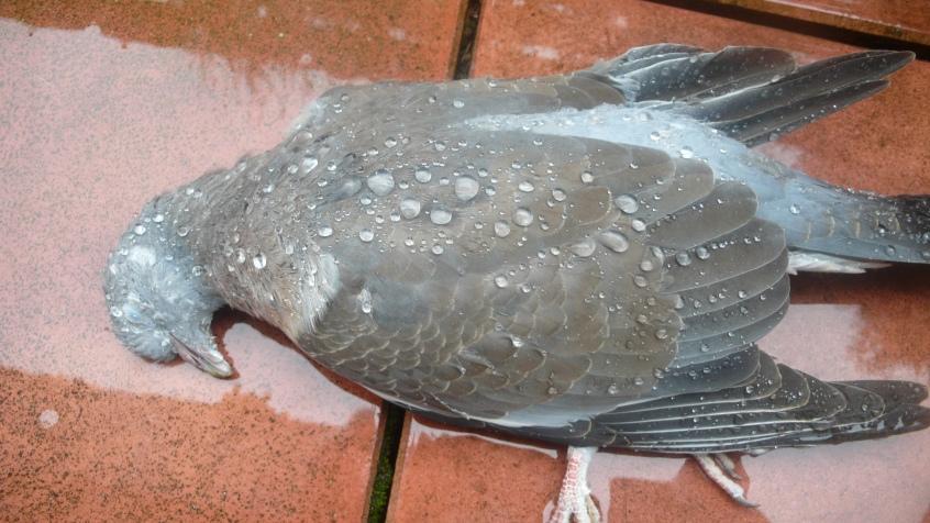 Leider ist diese Taube nachmittags gegen unser Wohnzimmerfenster geprallt und auf dem Boden verendet.